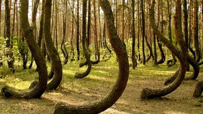 The trees at the Hoia Baciu Forest