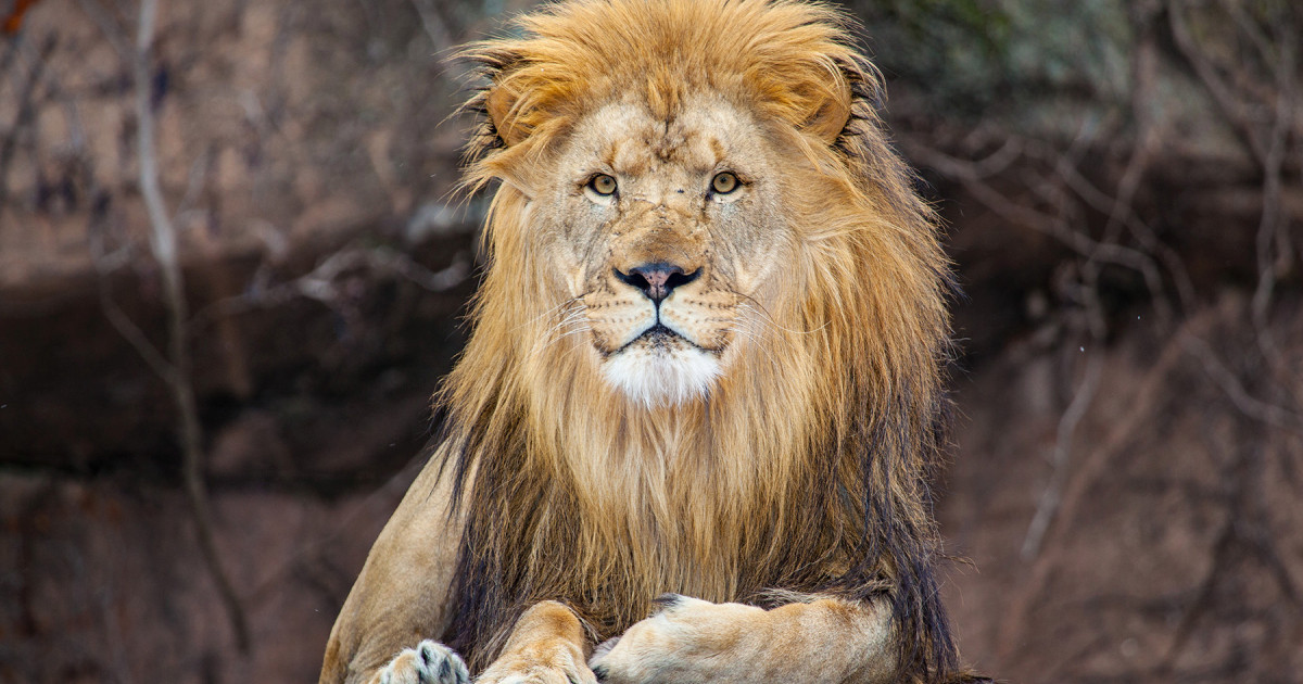 A lion at the Lion House of Lincoln Park Zoo