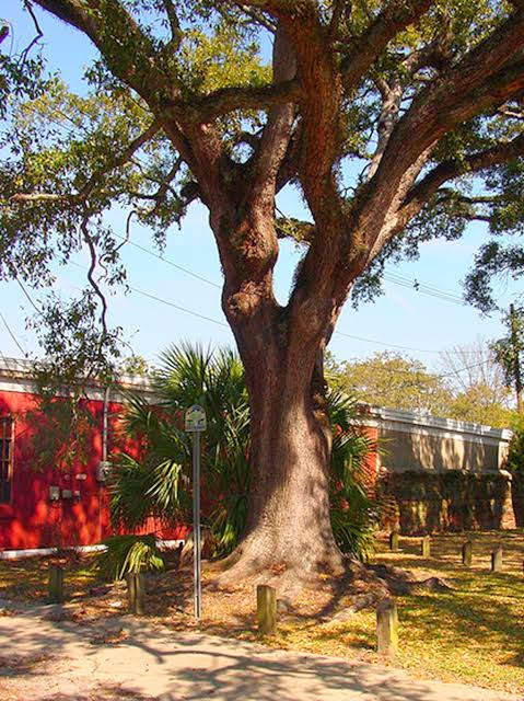Boyington Oak in Mobile, Alabama